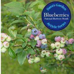 Blueberries: History, Culture and Uses - Dave's Garden