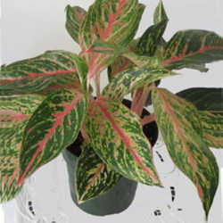 Low Light Flowering House Plants introduction to exotic foliage houseplants - dave's garden