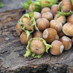 Hazelnuts on Slab of Bark