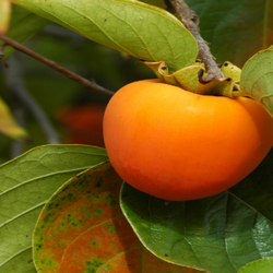 Persimmon on Tree