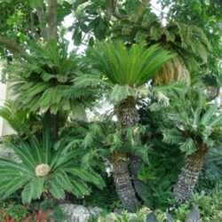 Sago Palm Leaves