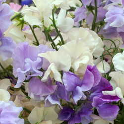 Image result for sweet peas