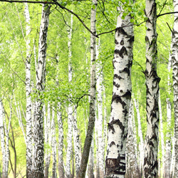 Forest of Birch Tree Trunks