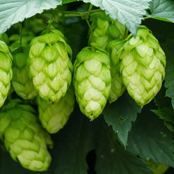 hops plant growing