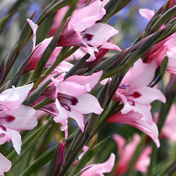 Pink South African gladiolus