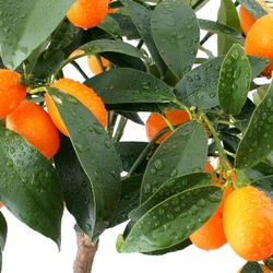 Dwarf citrus tree