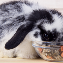 Black and White rabbit eating from a bowl of pellets
