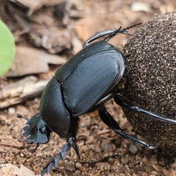dung beetle rolling a ball o0f maanure