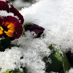 snow covered pansy