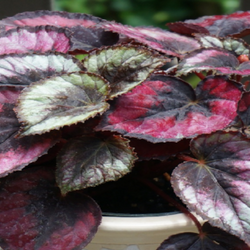 Beautiful rex begonia in pot