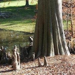 grown cypress trees