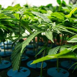 Cannabis Plants growing in pots