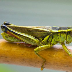 Grasshopper perched on a stick