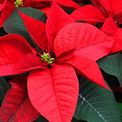 Mass of red poinsettias