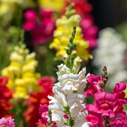 Colorful snapdragons