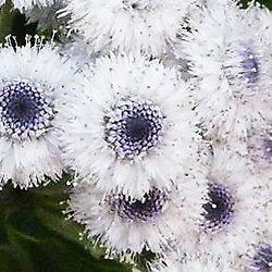 Globularia