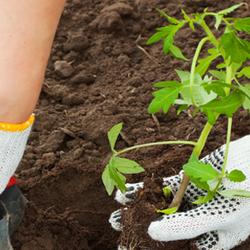 Hands Transplanting Tomato Seedling