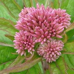 pink joe pye weed blossom