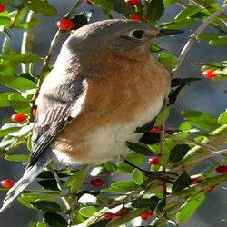 Bird sitting in yaupon bush