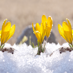 Yellow crocus in the snow