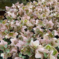 A beautiful display of Christmas rose in full bloom