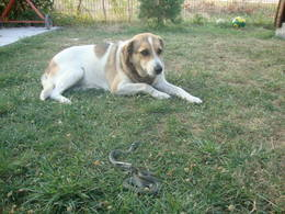 Minnie laying on the lawn with a snake in front of her