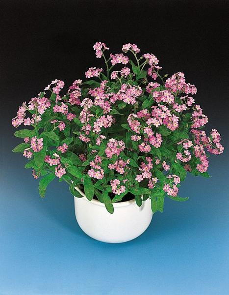 container of pink forget me nots