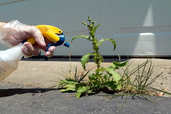 Herbicide bottle spraying on a weed