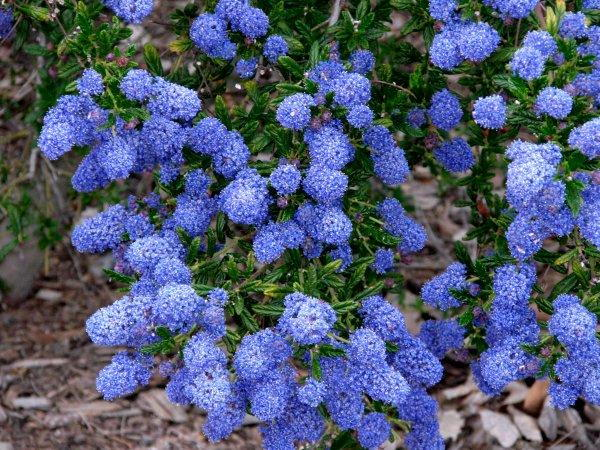 ceanothus blooms