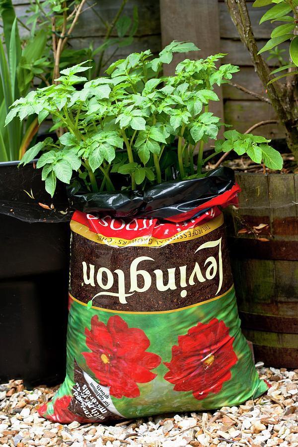 tomatoes growing in bags