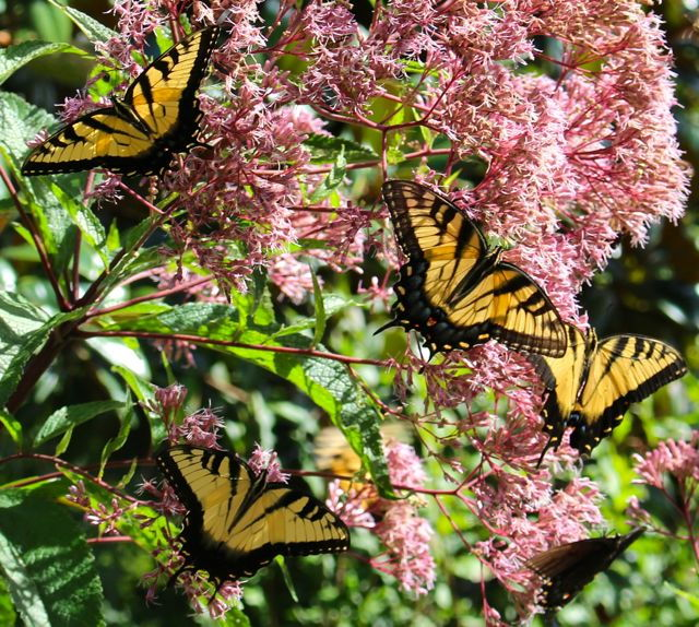 tiger swallowtail butterflies on joe pye weed blossoms