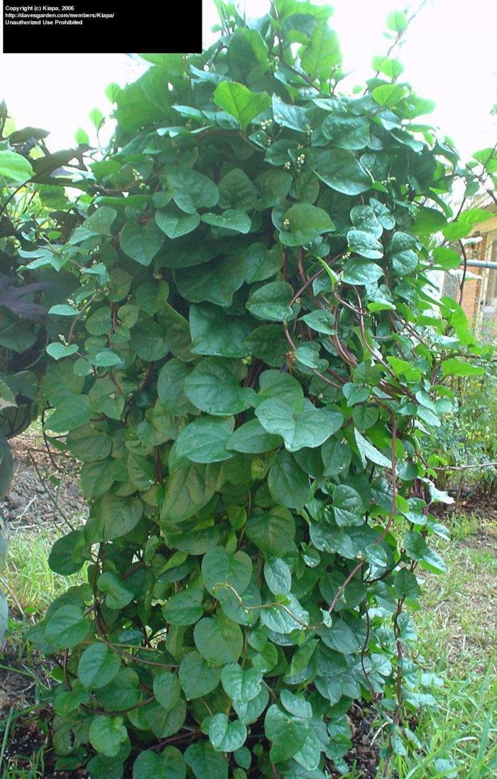 large malabar spinach vine