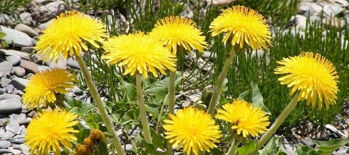 clump of dandelions