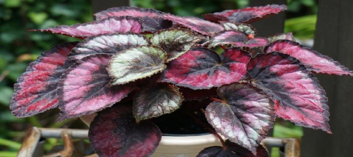 Beautiful rex begonia in pot