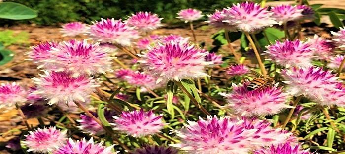 pink gomphrena