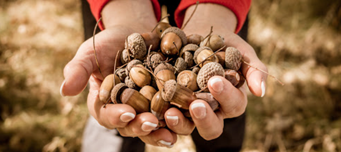 Handful of Acorns