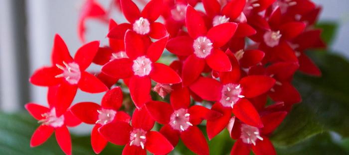 red pentas cluster