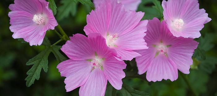 lavender malva blooms