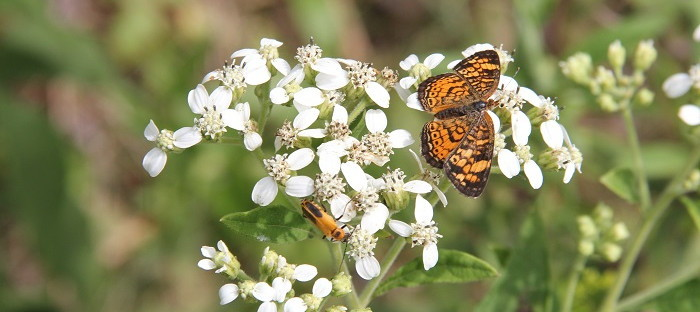 frostweed blossoms with butterfly and beetle