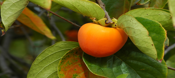 Persimmon on Tree