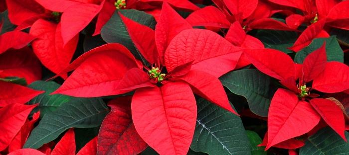 Poinsettias Not Just A Christmas Plant Dave S Garden