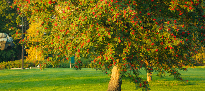 Large berry tree in a sunny grass field
