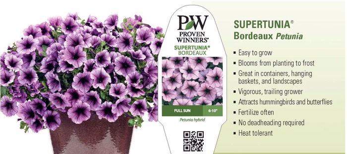 Supertunia® 'Bordeaux' Petunia