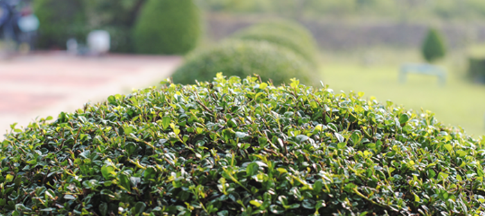 Row of Neatly Trimmed Shrubs