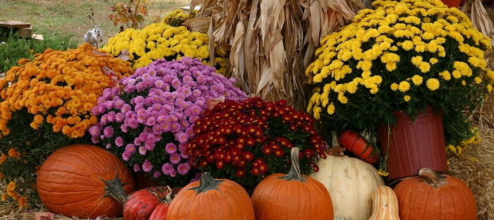Hardy Mums For A Beautiful Autumn