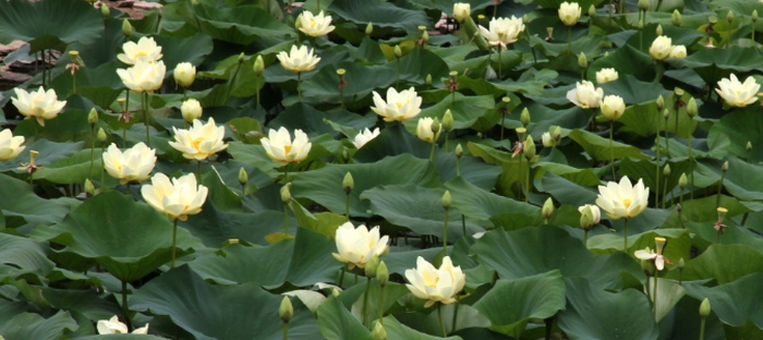 Edible Wild Plants The American Lotus Nelumbo Lutea Daves Garden