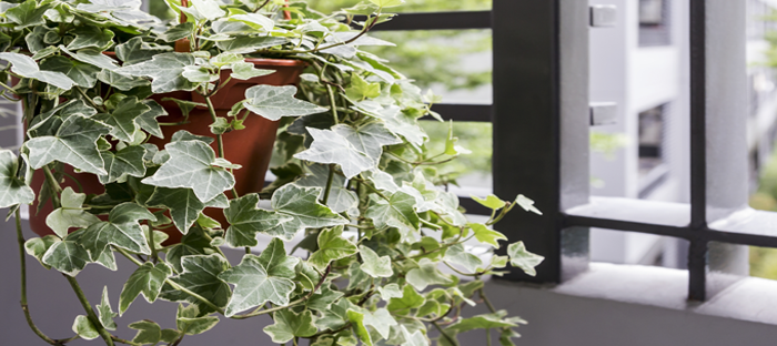 Ivy Growing Out of a Suspended Planter