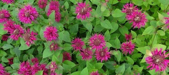 bright purple bee balm