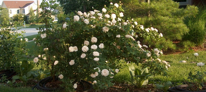 Madam Hardy Rose in early June