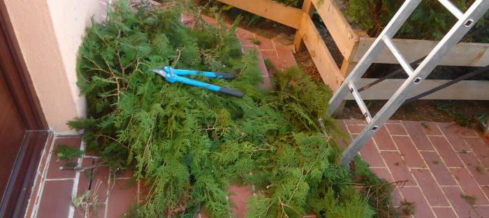 pile of pruned evergreens